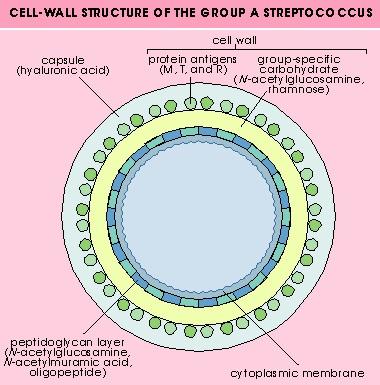fiebre_reumatica_estructura_celular