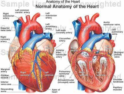 iam_anatomia_corazon