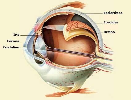 oftalmologia_anatomia_ojo3