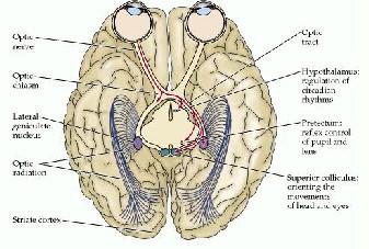 3 vias percepcion visual: